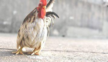 [건강] 피프로닐(Fipronil) 달걀과 닭고기의 대하여